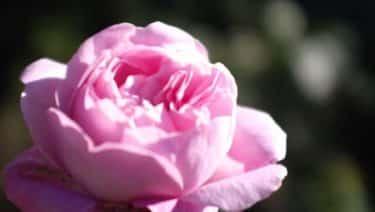 10月1日の花言葉「内気」|花占い365日